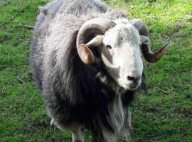 2x Herdwick rams for sale