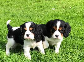 Cavalier King Charles pedigree puppies