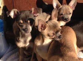 Chihuahuas pups