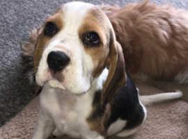 Beagle boys ready for a new home