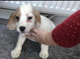 Beautiful spaniel boy for sale