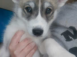 Male husky puppy for sale