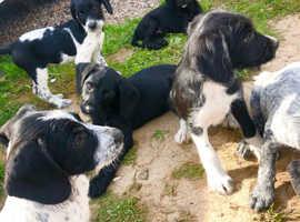 Superb German Pointer X Cocker puppies