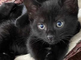 Beautiful boy male full black kitten