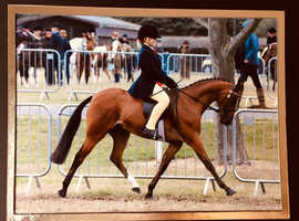 13hh show pony for full loan or share NR20 area