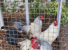 Dutch Bantam Hatching Eggs - half dozen