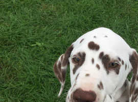 Stunning Male Liver Spotted Dalmatian, available due to heartless time waster