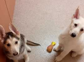 Siberian Husky Dogs & Puppies For Sale & Rehome in Newcastle