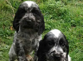Blue Roan show type cocker spaniels puppies