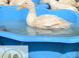 Point of lay ducks