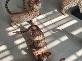 Full Pedigree Snow Linx Bengal Kittens
