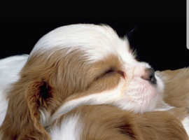 Wanted male cavalier king charles