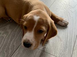 Puppy beagle x cocker spaniel