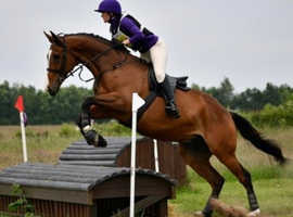 Wanted: horse around 16.2 hh
