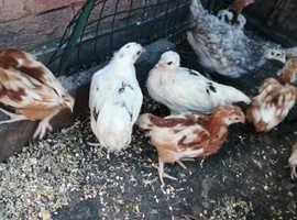 13 week old hybrid hens for sale