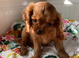 Ruby girl Cavalier King Charles Ready now playful fully vaccinated healthy