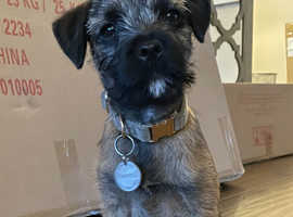 Missing Border Terrier Boy