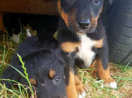 HUNTAWAY X BORDER COLLIE PUPPIES FOR SALE