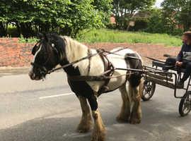 Boomproof 14.1hh cob mare!