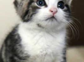 Chunky tabby kitten