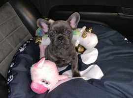 Remarkable Blue Colors of French Bulldogs Kc Reg Available Now