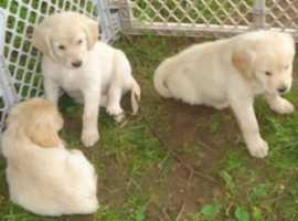 Stunning labrador puppy's