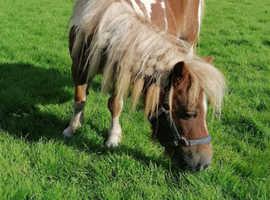 Registered shetland mare
