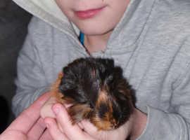 Guinea pig pups 4BOYS LEFT