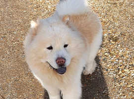 Cream Chow Chow Kennel Club Registered