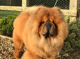 ***IMPRESSIVE RED CHOW CHOW AT STUD***