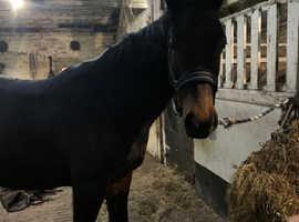 Beautiful hanovarian mare