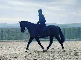 stunning black sport horse