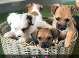 Jacawawa puppies