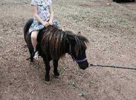 Black beauty the gelding