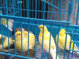 7 hens fife's show birds  £12 each Seaham harbour