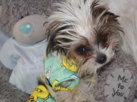 TEACUP YORKIE TAN-BEWIER / Yorkshire terrier