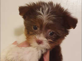 very small chocolate Yorkshire terrier boy