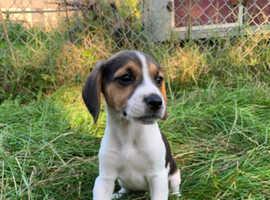 Pedigree Beagle puppies