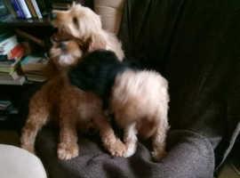 Cockerpoo pups for sale