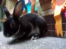 Mini Rex rabbits for sale