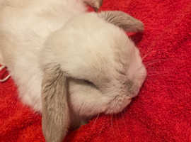 Male Holland lop for sale