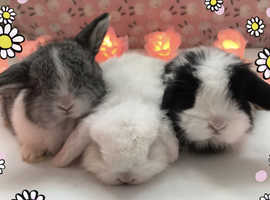 Pure bred mini lops