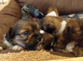 ADORABLE lhasa puppies