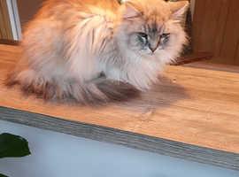 Ragamuffin male cat