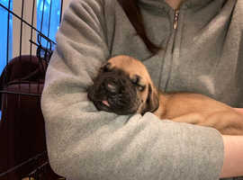 Valentine Great Dane Puppies Ready April - Kent