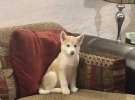 Last two Japanese Akita Inu 1/4 siberian husky puppies