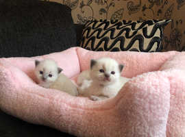 2  BEAUTIFUL BLUE POINT RAGDOLL BOYS READY 30TH APRIL