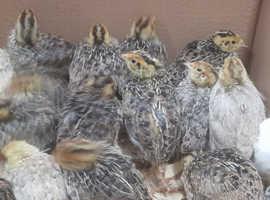 Japanese Quail Chicks - £7.50 each