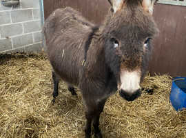 Lovely young Jenny donkey two year old