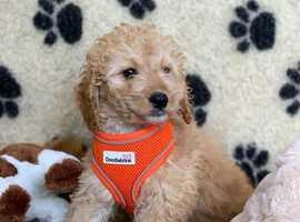 Cavapoo Puppies! Veterinary Health Checked 8 weeks